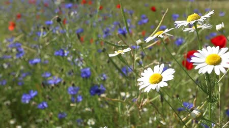 kamilla : daisy flowers at the field on a wind Stock mozgókép