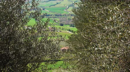 oliva : rows of olive trees on a tuscanian hills