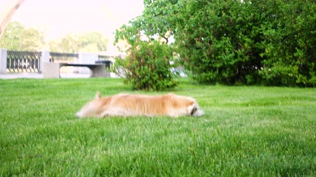 cachorrinho : playing corgi dog on a green lawn