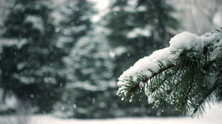 snow covered spruce : snow falling at the fir trees branches