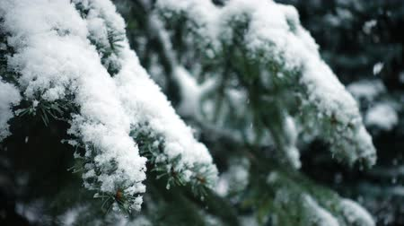 snowy background : snow falling at the fir trees branches