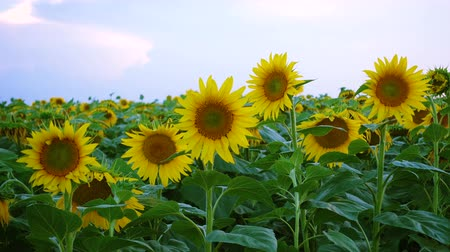 blue color : view of evening field with blooming sunflowers