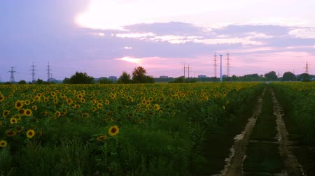 view of evening field with blooming sunflowers
