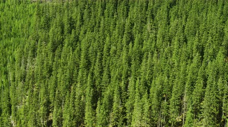 pine trees hill at the forested mountains Stock Footage