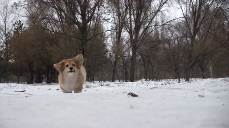 вести : funny corgi fluffy puppy walking outdoors at the winter day