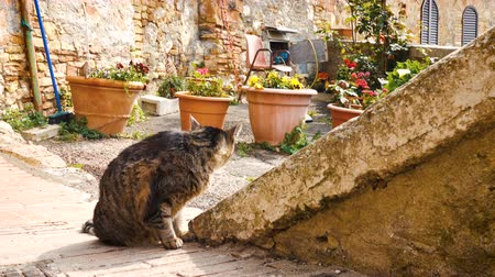 toscane : cat sitting near the flower pots on a street of small italian town