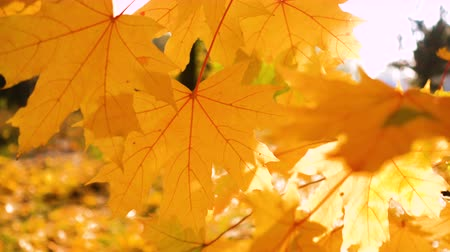 cover up : Beautiful Colorful Autumn maple Leaves close up Stock Footage