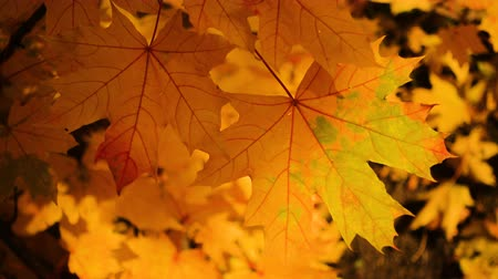 autumn forest : Beautiful Colorful Autumn maple Leaves close up Stock Footage