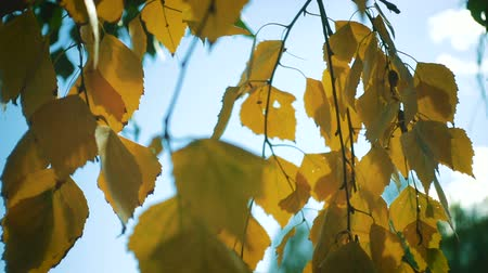 birch : autumn birch leaves on a wind close up slow motion video