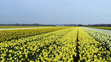 jacinto : spring flower field at the Netherlands Vídeos