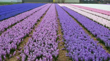 holandês : spring flower field at the Netherlands Stock Footage