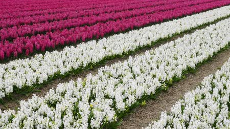 narciso : spring flower field at the Netherlands Stock Footage