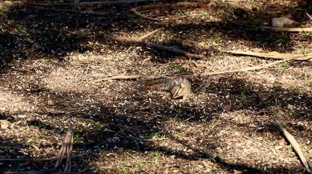 chipmunk : Cliff chipmunk forages for food in dappled sunlight.