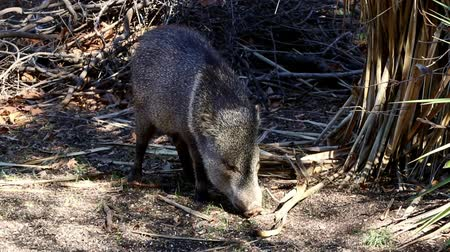 collared : Javelina forages for food with its snout