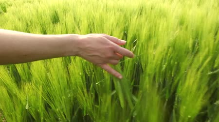 caminhada : female hands caressing wheat slow motion