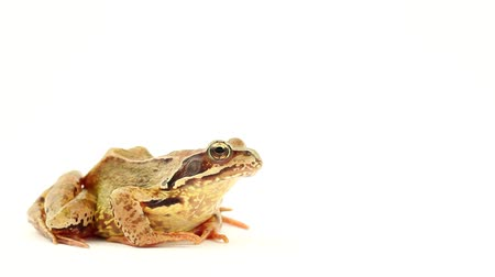 rana : Brown frog on white facing right Stock Footage