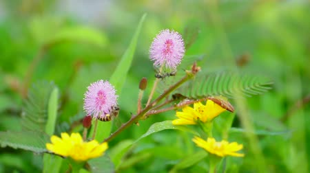 Bee and black ant survey on pink mimosa pudica flower (or tickle me plant).