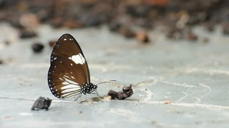 Brown butterfly eating some food on ground. (HD footage no sound)
