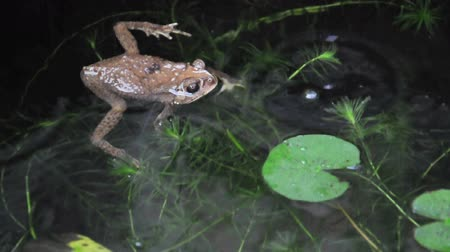 Serene yellow frog dictates because rain falling into its eye in fish pond. (HD footage with sound) Stock Footage
