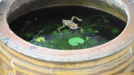 Yellow frog still calm in fish pond although raining. (HD footage with sound) Stock Footage