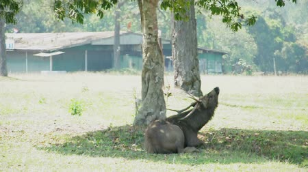 Deer uses its antler scratch back due to irritation at National Park, Thailand. (HD footage no sound) Stock Footage