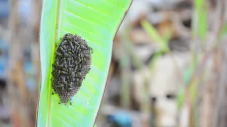 Nest of wasp is under the banana leaf. (HD footage no sound)