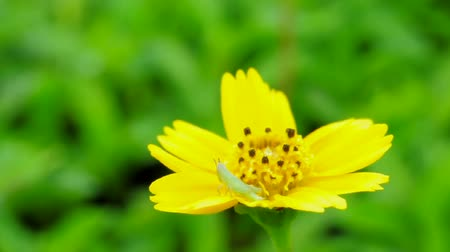 Even when the wind has blown, the little green grasshopper is staying strongly on a yellow flower. (HD footage no sound) Stock Footage