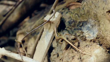 surat : Little skink lizard in the forest at National Park, Thailand. (HD footage with sound) Stock Footage