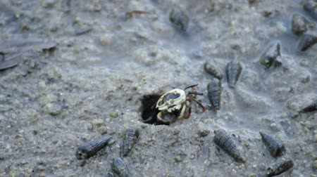 Female fiddler crab eating food near hole at mangrove forest, Thailand. (HD footage no sound)