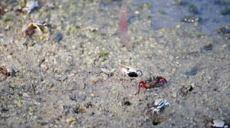Fiddler crabs walking on mangrove forest, Thailand. (HD footage no sound)