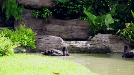 Black swan tries to eat something while swimming in the pond. (HD footage with sound)
