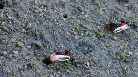 crab of the woods : Male fiddler crabs walking at mangrove forest, Thailand. (HD footage no sound) Stock Footage