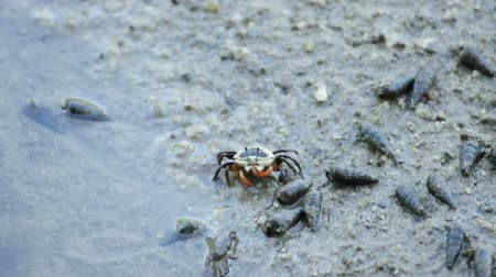 crab of the woods : Female fiddler crab eating some food at mangrove forest, Thailand. (HD footage no sound)