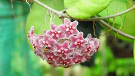 kutsal : Red hoya flower and bee. (HD footage no sound)