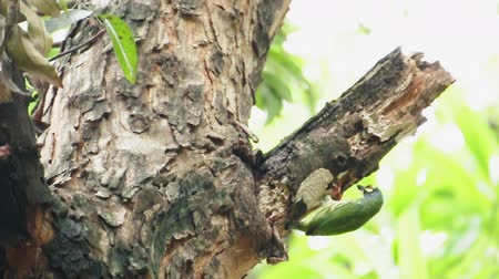 Coppersmith barbet bird burrowing a nest hole in the tree. (HD footage)
