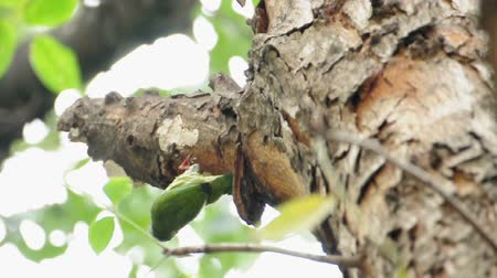 coppersmith barbet : Coppersmith barbet bird burrowing a nest hole in the tree. (HD footage)