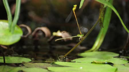 Endophytic oviposition of dragonfly in tandem position. (HD footage no sound) Stock Footage