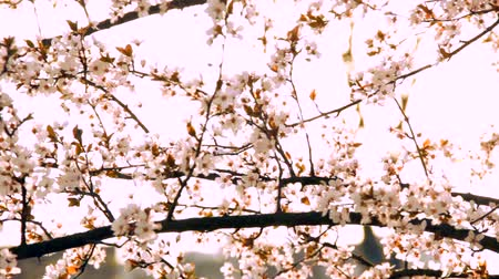 цвести : Cherry blossom at big green park in spring. Nice weather and almost sunset. A bit purple cherry tree. HD1080p. Dolly-shot. Стоковые видеозаписи