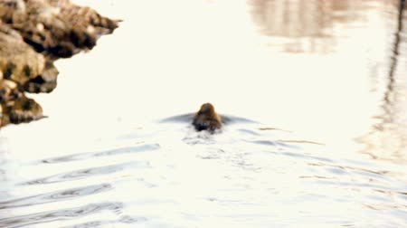 river rat : Grown-up Nutria at riverbank, feeding. Small Nutria swimming around in lake. HD 1080p. EOS550D. Tripod.