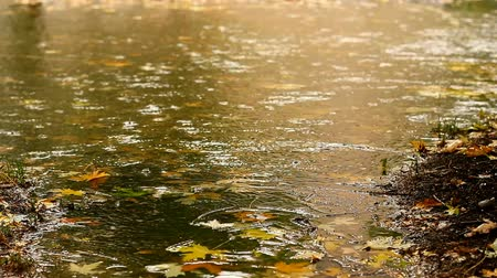 ulewa : Rainy day in fall. Lots of yellow leaves. Heavy rain falling on the ground creating a puddle.  Wideo