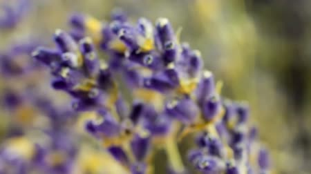 levandule : Extreme close up shoot of Lavender buds on black background, sliding from sides. Many people appreciate lavender (Lavandula angustifolia, or Lavandula officinalis) for its fragrance, used in soaps, shampoos, and sachets for scenting clothes.