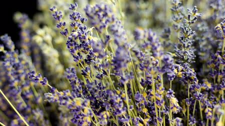 herbal : Medium shoot of Lavender on black background, sliding from sides. Many people appreciate lavender (Lavandula angustifolia, or Lavandula officinalis) for its fragrance, used in soaps, shampoos, and sachets for scenting clothes.
