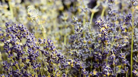 aromaterapia : Medium shoot of Lavender on black background, sliding from sides. Many people appreciate lavender (Lavandula angustifolia, or Lavandula officinalis) for its fragrance, used in soaps, shampoos, and sachets for scenting clothes.