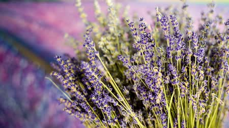 levandule : Lavender bouquet in front of a field of lavender growing for making oil, home fragrance and other. Commercially the plant is grown mainly for the production of essential oil of lavender.