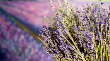 lavanda : Lavender bouquet in front of a field of lavender growing for making oil, home fragrance and other. Commercially the plant is grown mainly for the production of essential oil of lavender.