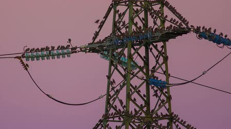 marco nacional : Electrical tower with pink background and a lot of birds Stock Footage