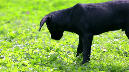 лабрадор : Little doggy looking around the grass