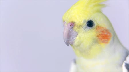 ara papagáj : Close up Head of Cockatiel Yellow Bird Stock mozgókép