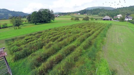warzywa : Closing to field of asparagus on farmland from air. Big field of growing asparagus vegetable a flowering perennial plant species. Wideo
