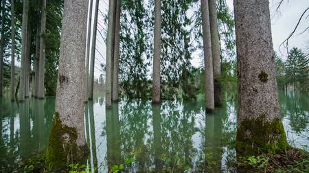 fakéreg : Trees in water jib shot. Wide shot of forest flooded by water jib shot.